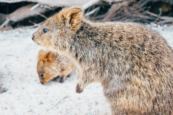 Mädelsschnack l Quokka auf Rottnest Island